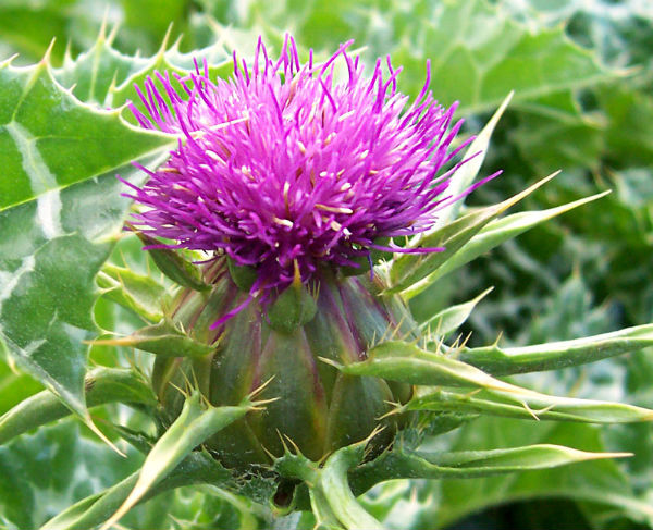 Milk thistle flower