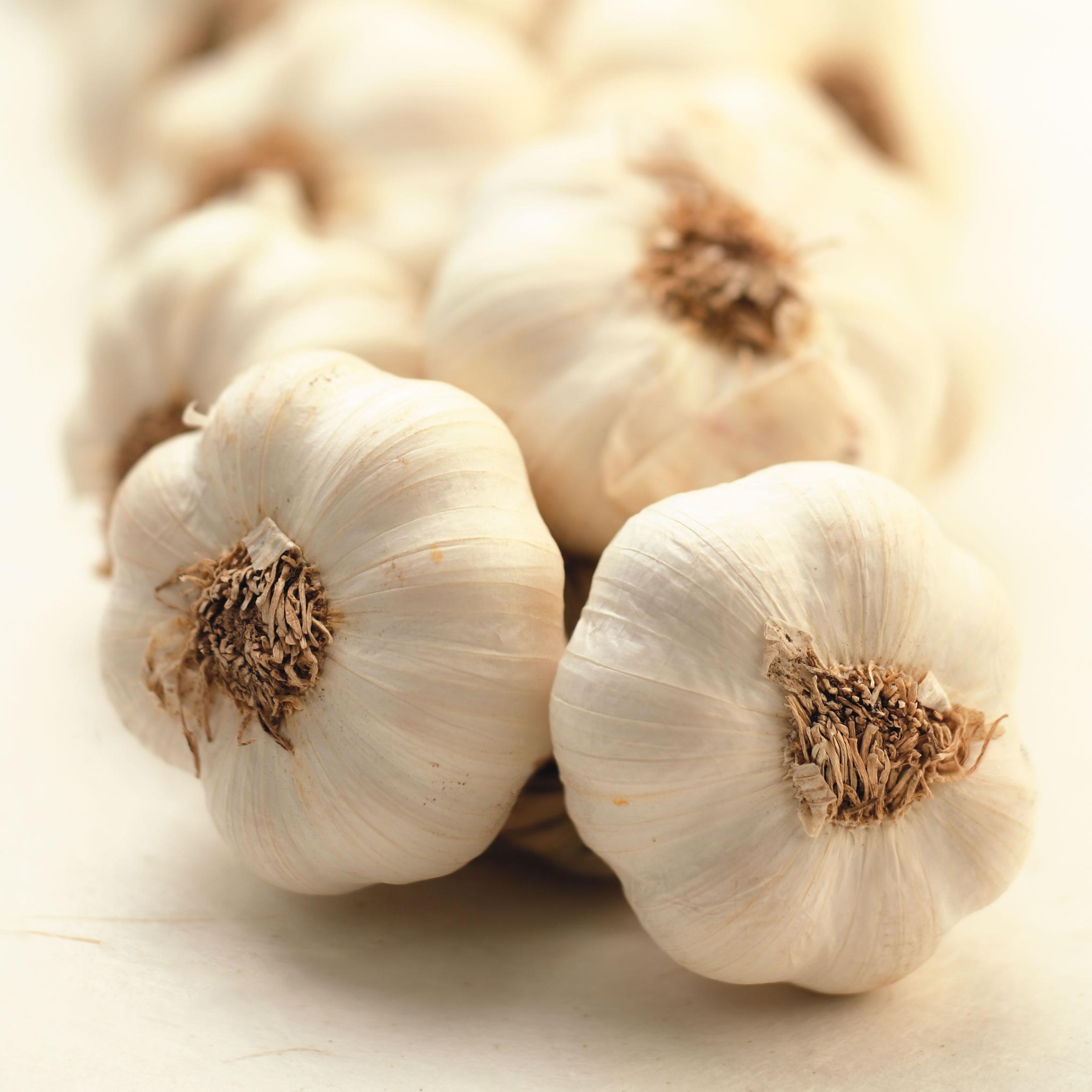 garlic 310 0