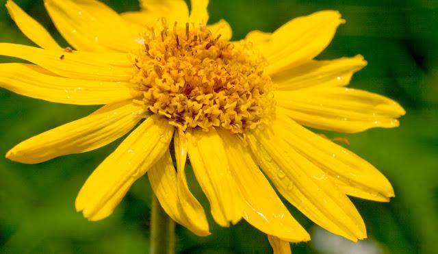 Το φαρμακευτικό φυτό άρνικα και οι θεραπευτικές της ιδιότητες