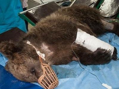 Στην Κτηνιατρική Κλινική του ΑΠΘ το αρκουδάκι που τραυματίστηκε στο Μέτσοβο