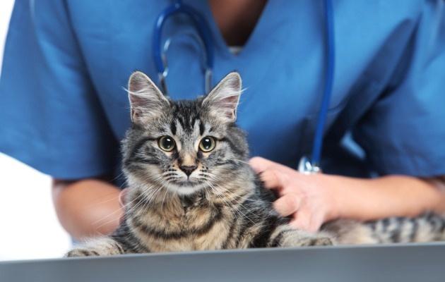 Ακρομεγαλία στη Γάτα: Πόσο σπάνια είναι τελικά;