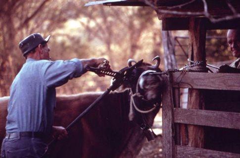 Φιλόζωοι γενετιστές δημιουργούν αγελάδες χωρίς κέρατα