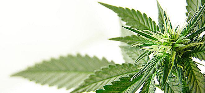 Η μαριχουάνα συνδέεται με την περιοδοντική νόσο