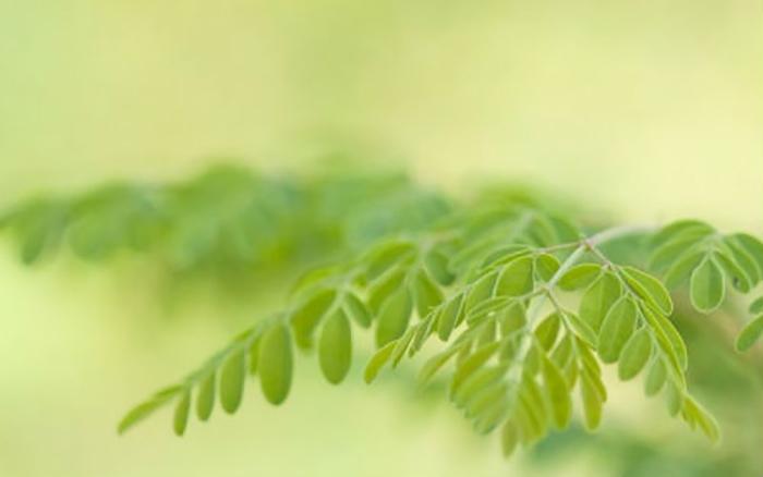 Το δέντρο μορίνγκα αντιμετωπίζει 5 τύπους καρκίνου