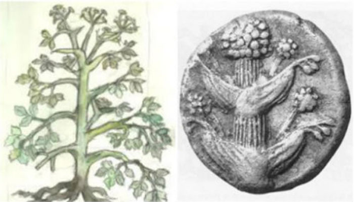 Το δημοφιλές βότανο της αρχαιότητας