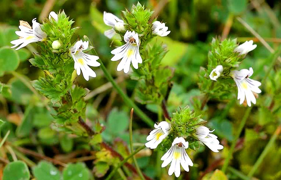 Το ισχυρό ελληνικό βότανο που βελτιώνει την όραση