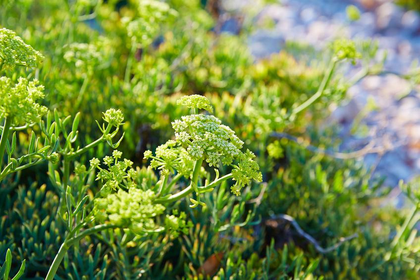 Κρίταμο : Το βότανο που πρέπει να συμπεριλάβετε στη διατροφή σας