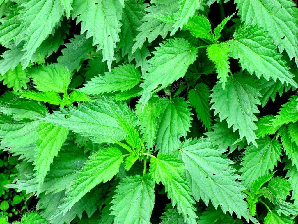 Τσουκνίδα : To βότανο που θα σας βοηθήσει στο αδυνάτισμα