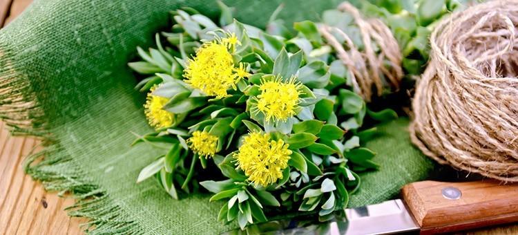 Ροδιόλα : Το βότανο που βοηθάει στην καταπολέμηση της κατάθλιψης