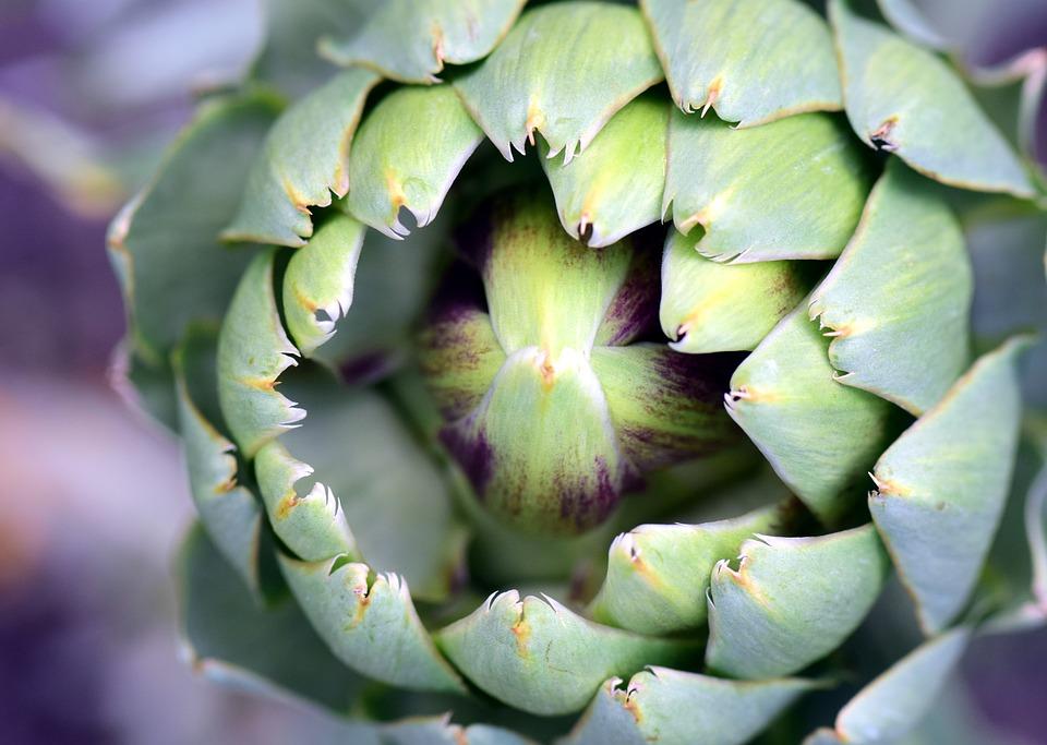 Οι θεραπευτικές ιδιοότητες της αγκινάρας